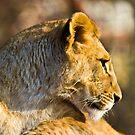 Lioness by Gert Lavsen