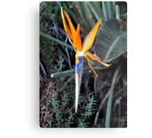 BIRD OF PARADISE IN BLOOM Metal Print