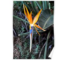 BIRD OF PARADISE IN BLOOM Poster
