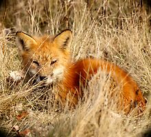 The Red Fox by Thomas Young