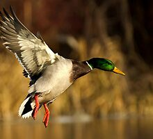 Early Morning Mallard by Jeff Weymier