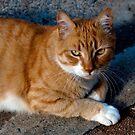 The Orange Cat by sedge808
