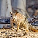 Dryandra's Numbat  by Rick Playle