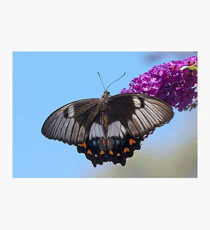 Orchard Butterfly Photographic Print