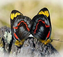 Jezabel Butterfies Mating by pcbermagui