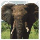 African Elephant by Austin Stevens