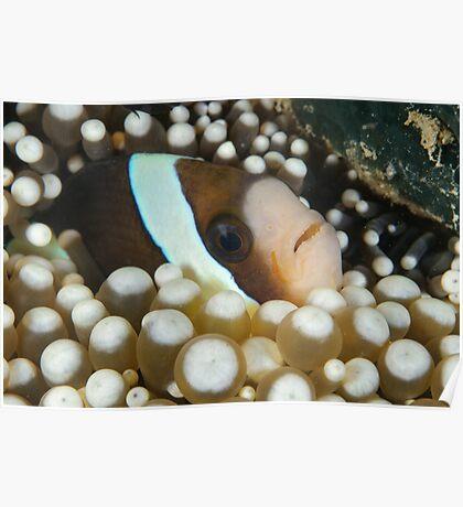 Clark's anemonefish - Amphiprion clarkii Poster