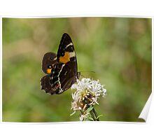 Swordgrass Brown Butterfly on Slender Rice Flower Poster