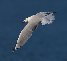 Just Another Seagull by Ian Creek