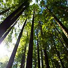 Light Streaming Through Redwoods by Nicole a Alley