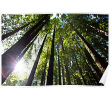 Light Streaming Through Redwoods Poster