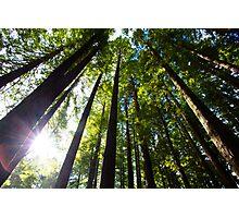 Light Streaming Through Redwoods Photographic Print