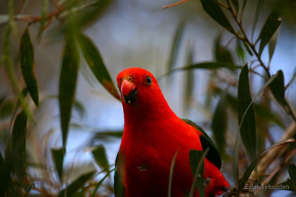 King Parrot by Erland Howden