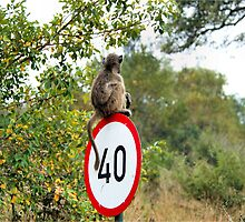 PLEASE TAKE NOTE OF THE SPEED ZONE! - THE CHACHMA BABOON - Papio ursinus by Magaret Meintjes