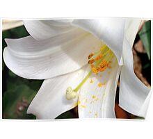 White lily macro Poster