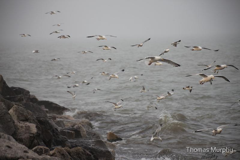 A flock of Seagulls feeding by Thomas Murphy