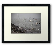 A flock of Seagulls feeding Framed Print