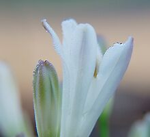 Dew drops on an agapanthus by geoffgrattan