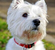 West Highland Terrier by asm1