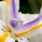 Dewy butterfly iris by Celeste Mookherjee