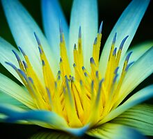 Blue Lotus of Egypt, Adelaide Botanic Gardens by Elana Bailey