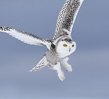 A Blast From The Past / Snowy Owl by Gary Fairhead
