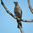 Little Friarbird  (Philkemon Citreogularis) by Margaret  Hyde