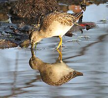 Common Sandpiper with reflection by jozi1