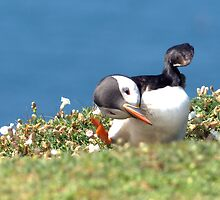 clumsy puffin by sandymayasphoto
