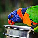 Detailed capture of a Rainbow Lorikeet (Trichoglossus haematodus) feeding by Nick Egglington