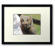 Baby screech owl Framed Print