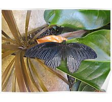 Cattle Heart Butterfly Poster