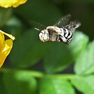 Blue -banded Bee by Rick Playle