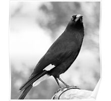 north head manly - currawong Poster