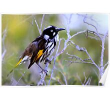 north head manly - little quick honeyeater Poster