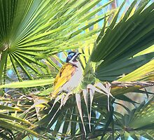 Blue Faced Honeyeater by Craig Stronner