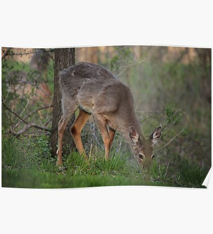 Wild Deer Eats Dinner Poster