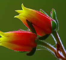 Succulent Flower by Bette Devine