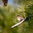 House Finch on Green by Susan Gary