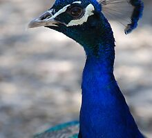 Peacock - up close and personal by gogston