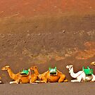 Camels by Epicurian