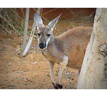 Red Kangaroo (Macropus rufus) Photographic Print