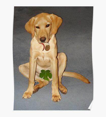 Shy dog Poster