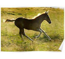 Appaloosa foal running Poster