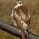 Red-tailed Hawk on fence by Jim Cumming