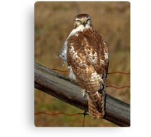 Red-tailed Hawk on fence Canvas Print