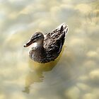 Duck on Water... by Debbie McGowan CAMMAYC Photography