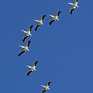 American White Pelicans in classic V fomation by jozi1