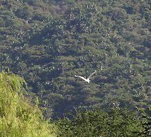 Flying Heron - Garza Blanca Volando by Bernhard Matejka