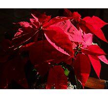 Poinsettia - Noche Buena Photographic Print